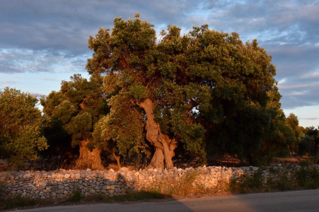 olive tree in ostuni
