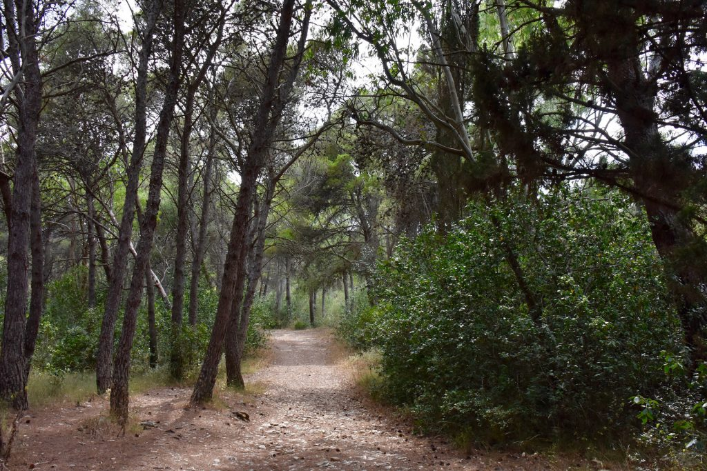 pine forest in Salento