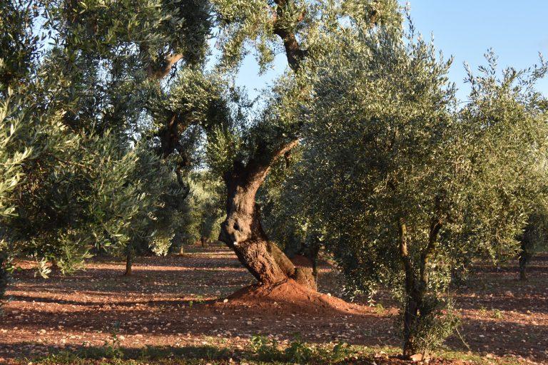 olive tree in Puglia